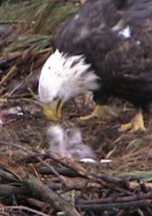 eaglets_2_chicks_2010